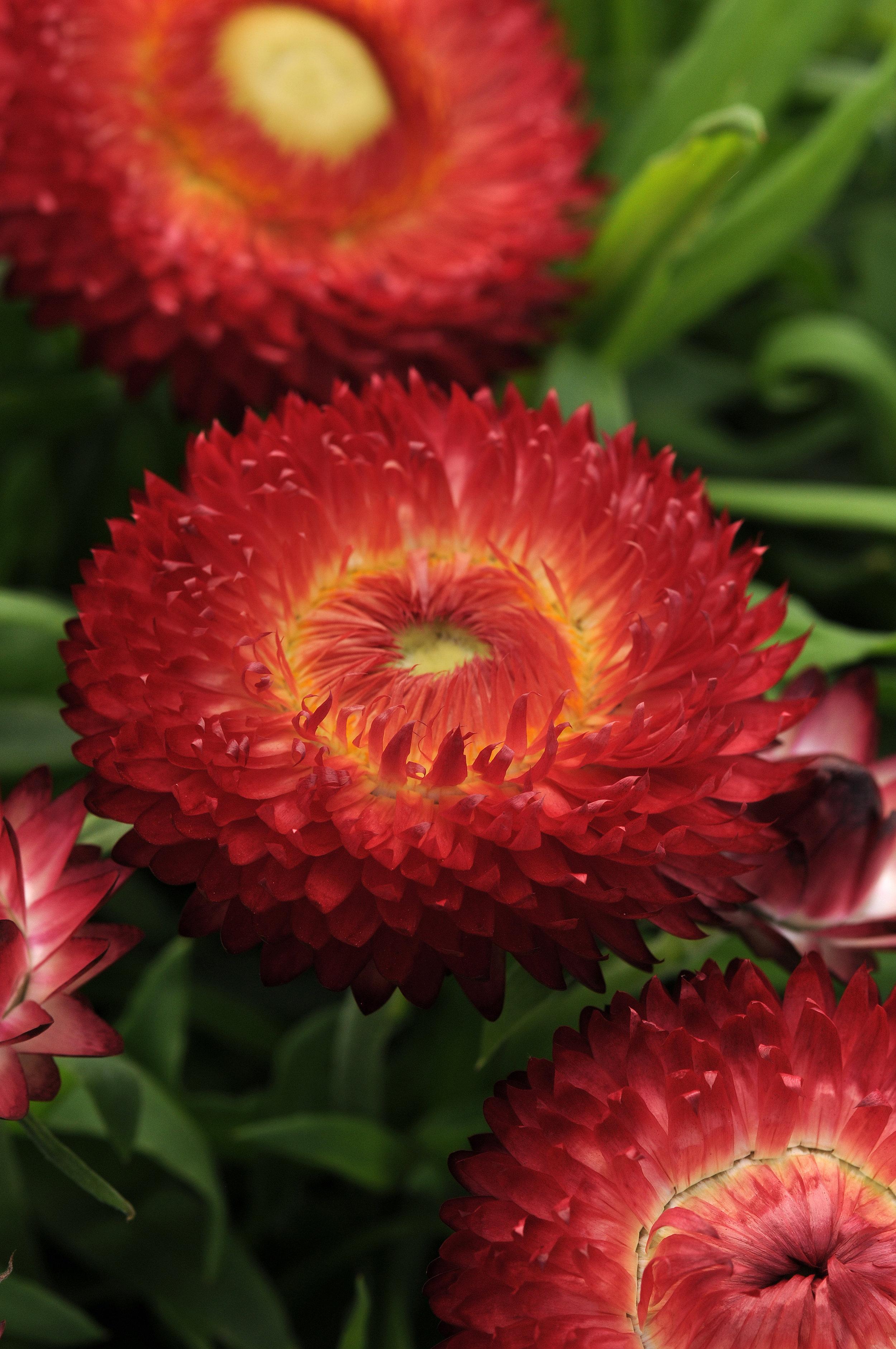 Breacteantha Dreamtime Jumbo Red
