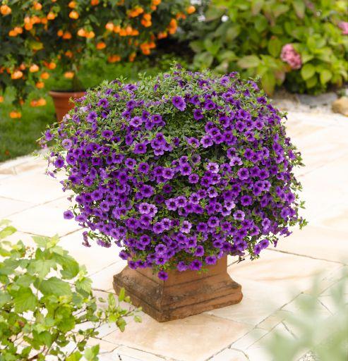 Calibrachoa Aloha Classic Purple