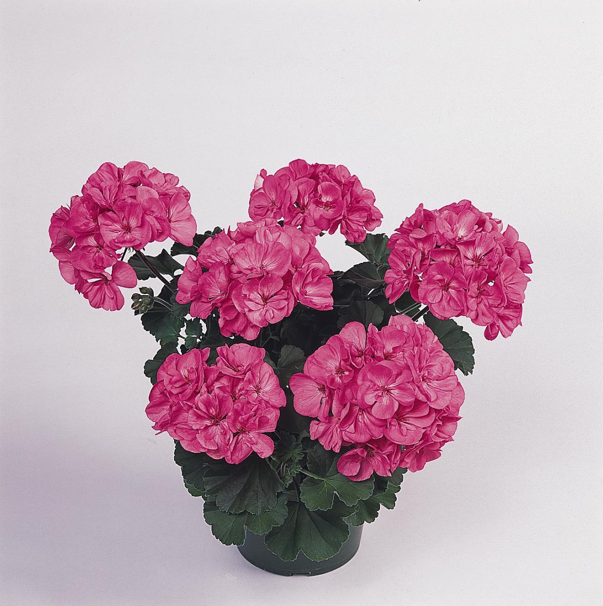 Geranium Presto Pink (Zonal)