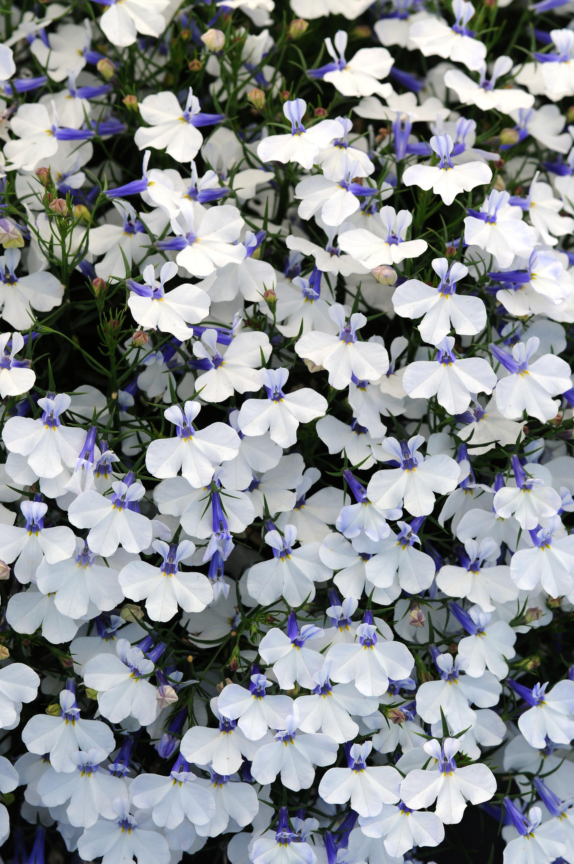 Lobelia Early Springs White