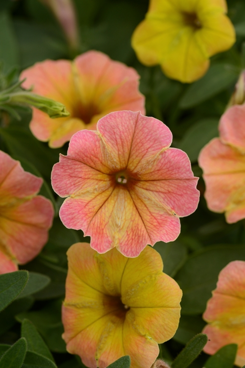 Petunia Cascadias Indian Summer