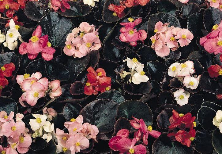 Begonia Cocktail Series
