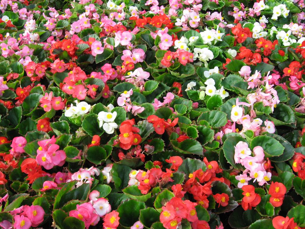 Begonia Super Olympia Series