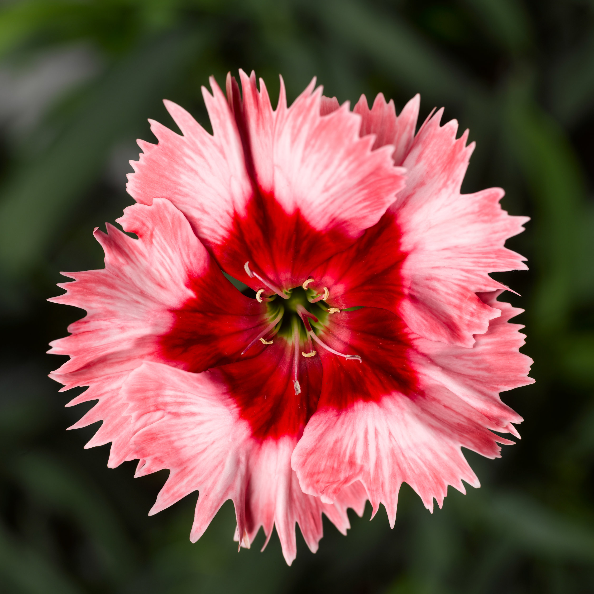 Dianthus Super Parfait Strawberry