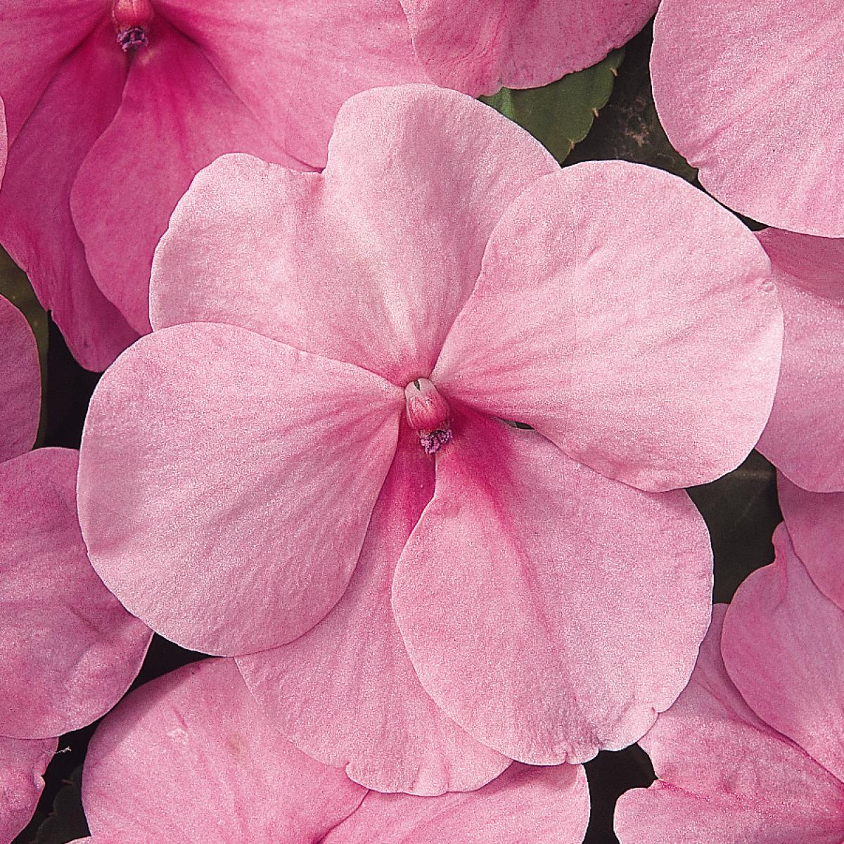 Impatiens Dazzler Pink