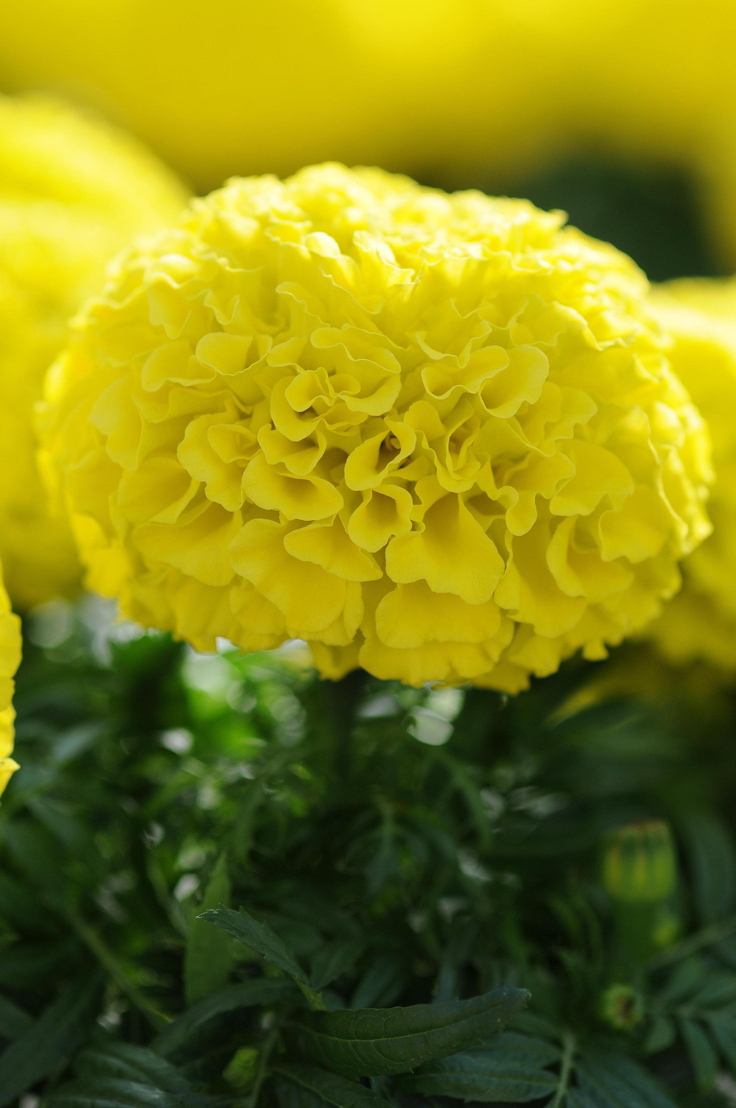 Marigold Taishan Yellow (AF)