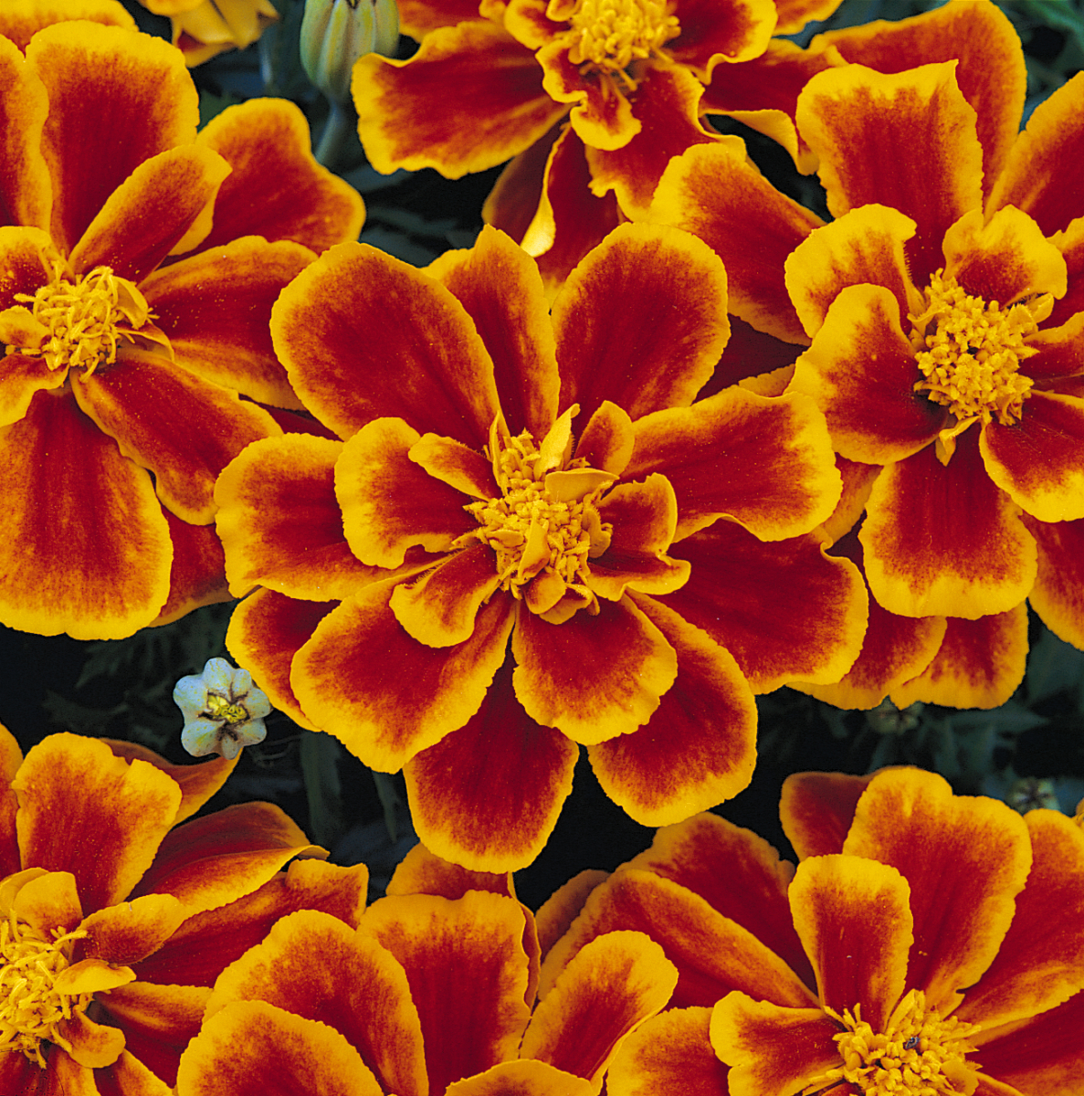Marigold Durango Flame (FR)