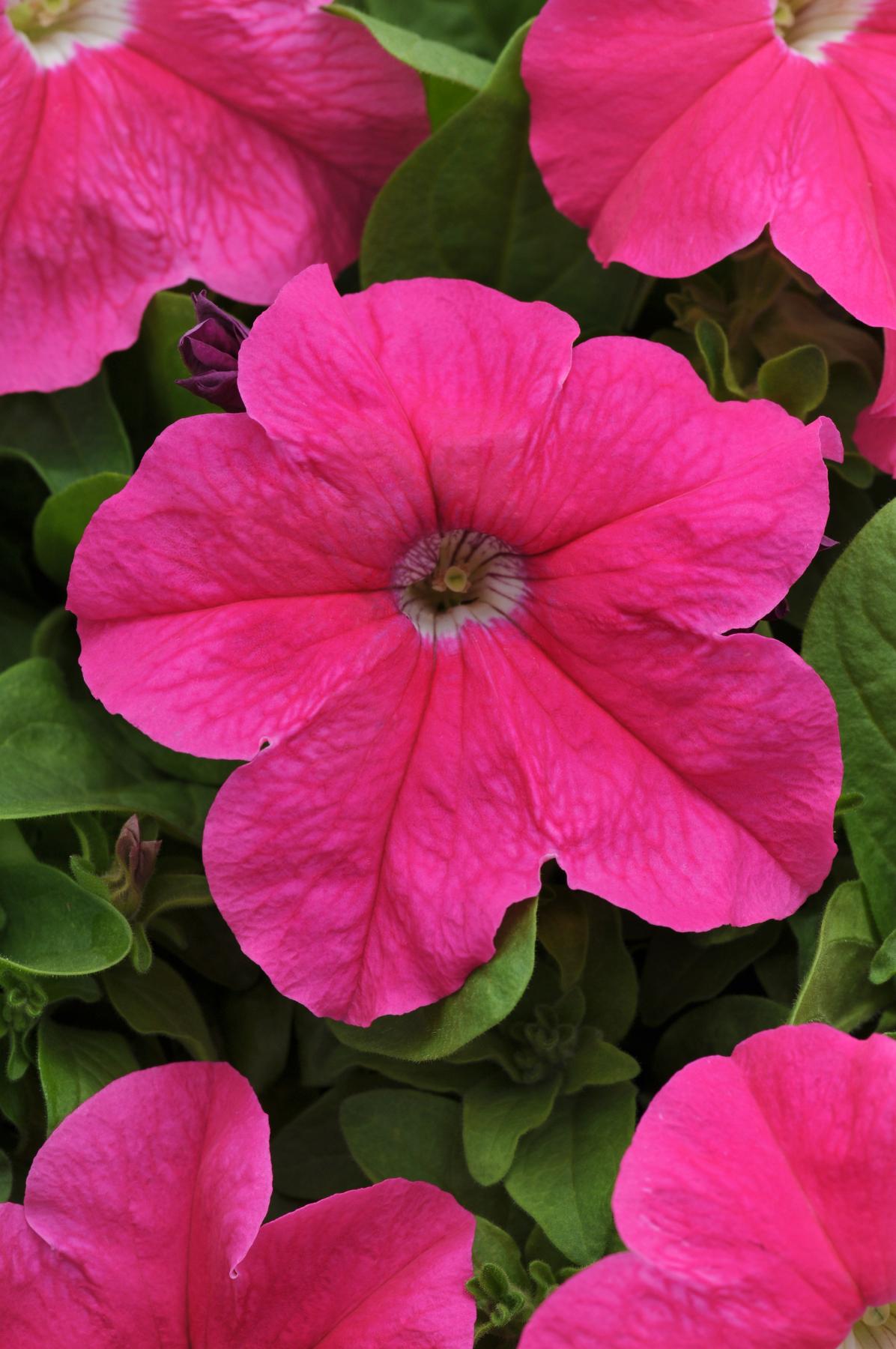 Petunia Pretty Grand Pink