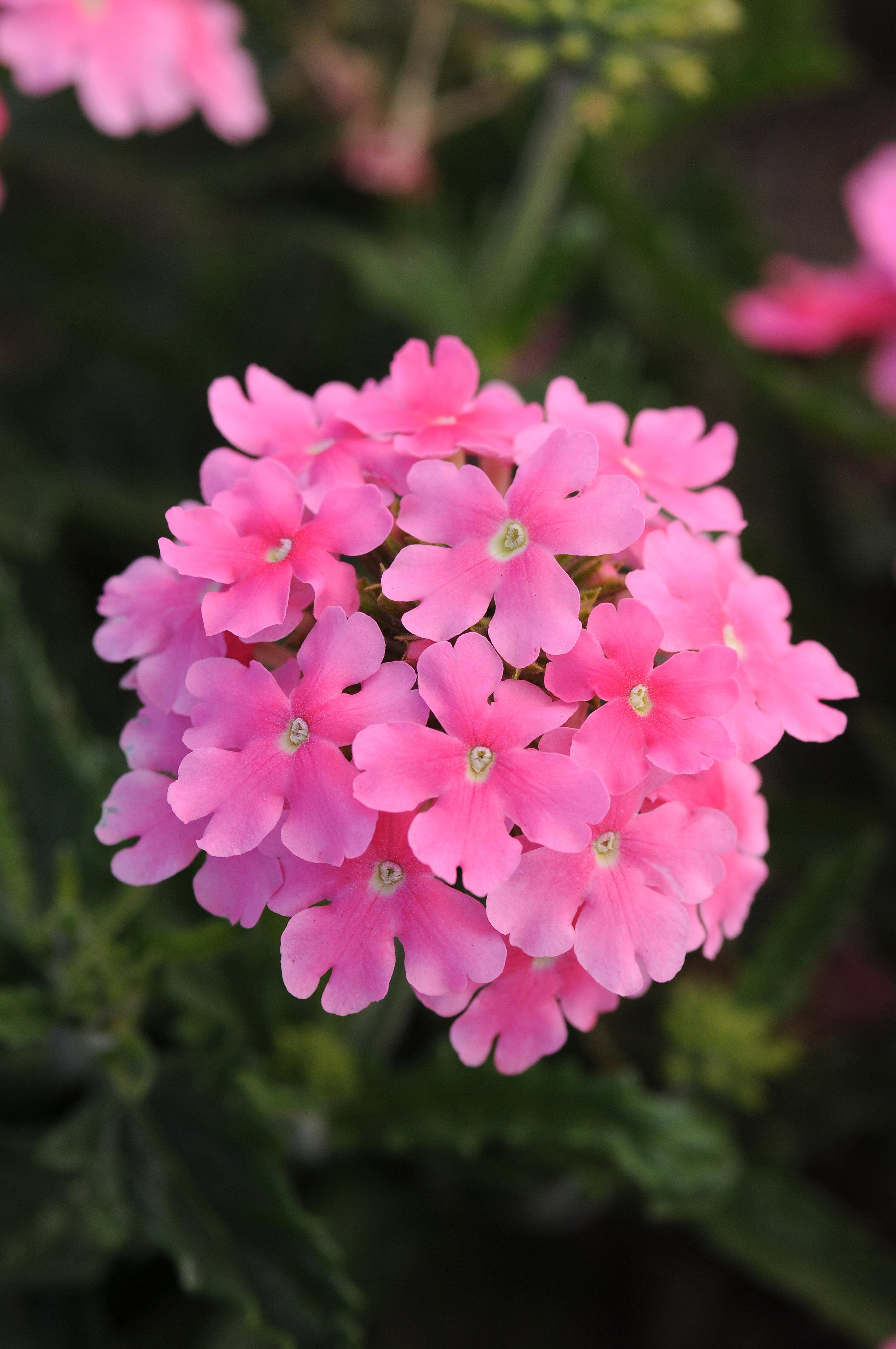 Verbena Quartz Pink