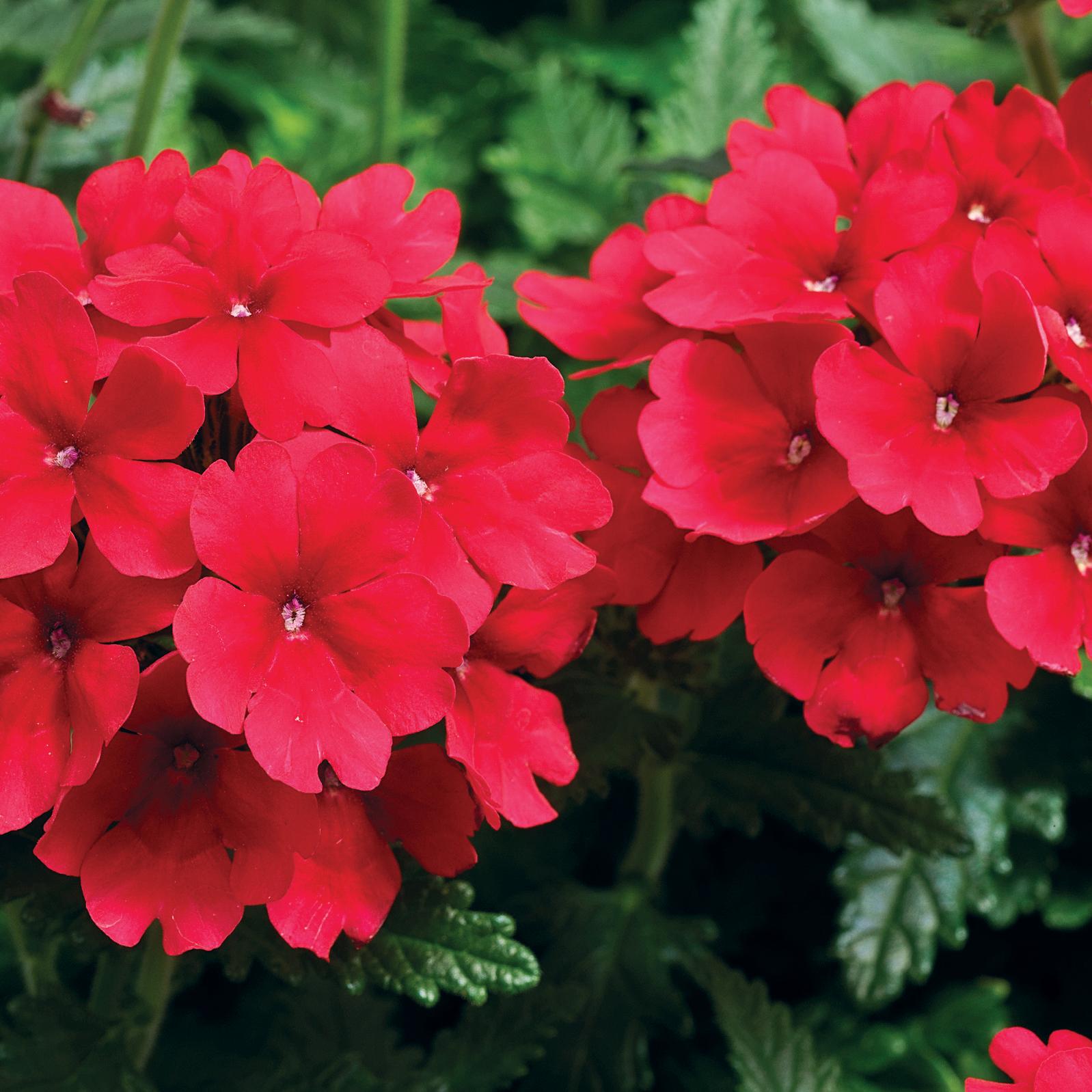 Verbena Tuscany Scarlet