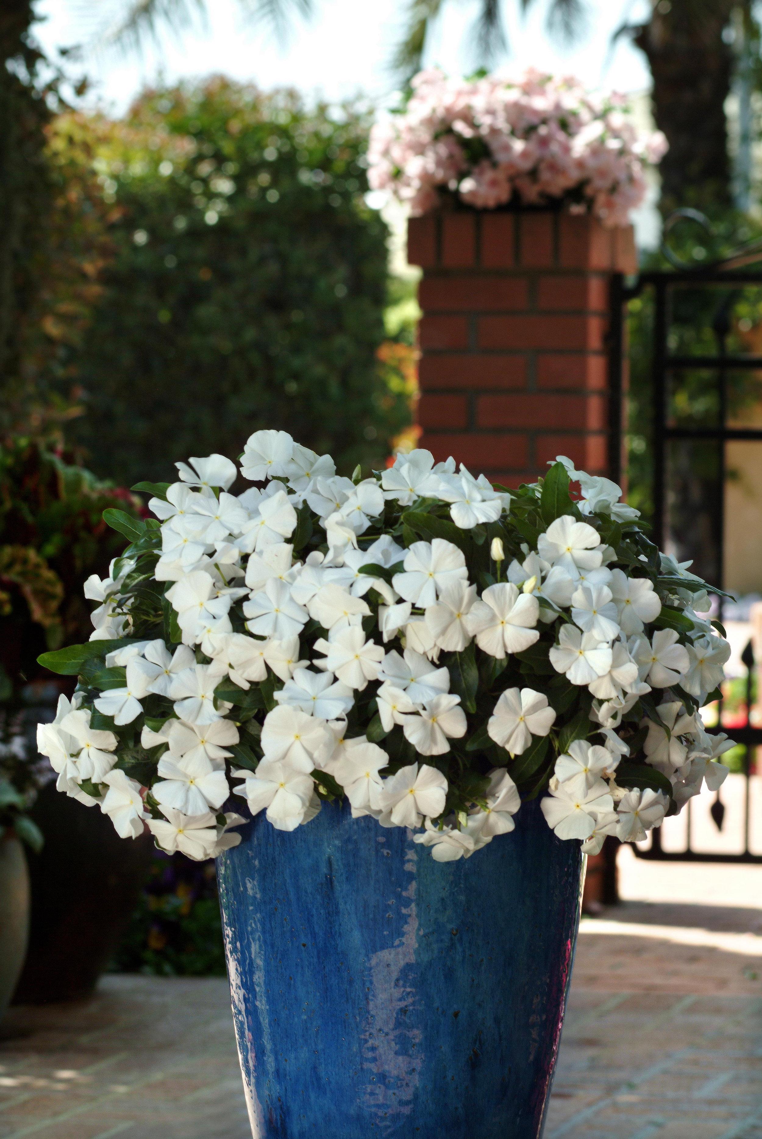 Vinca Mediterranean White
