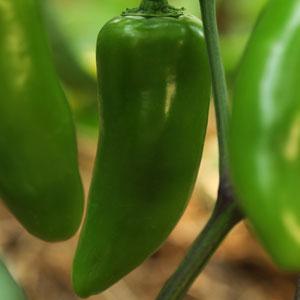 Pepper Jalapeno (HOT)