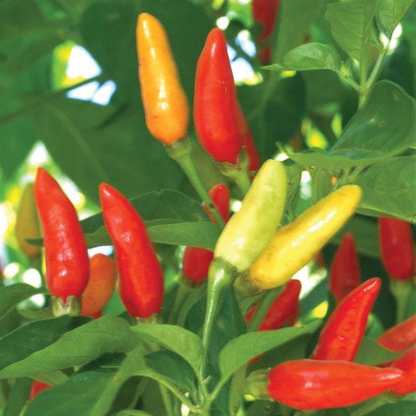 Pepper Tabasco (HOT)