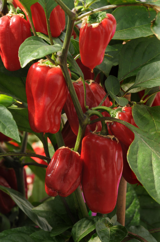 Pepper Sweet Heat