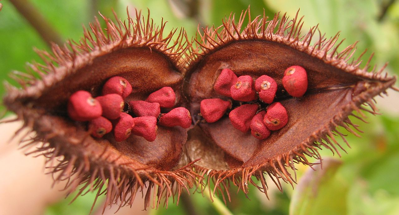 Open Fruit of the Achiote Tree