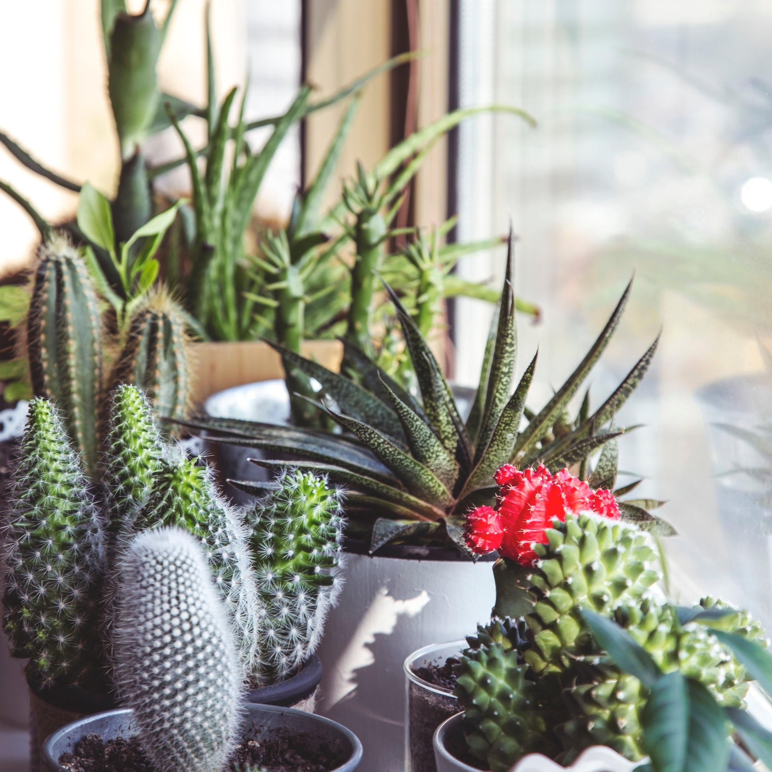 cactus-plant-flower-window-botany-succulent-23258-pxhere.com.jpg