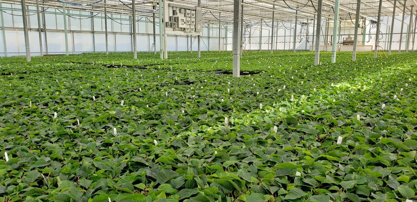 """This year's poinsettia crop getting its start at the """"Field House""""."""