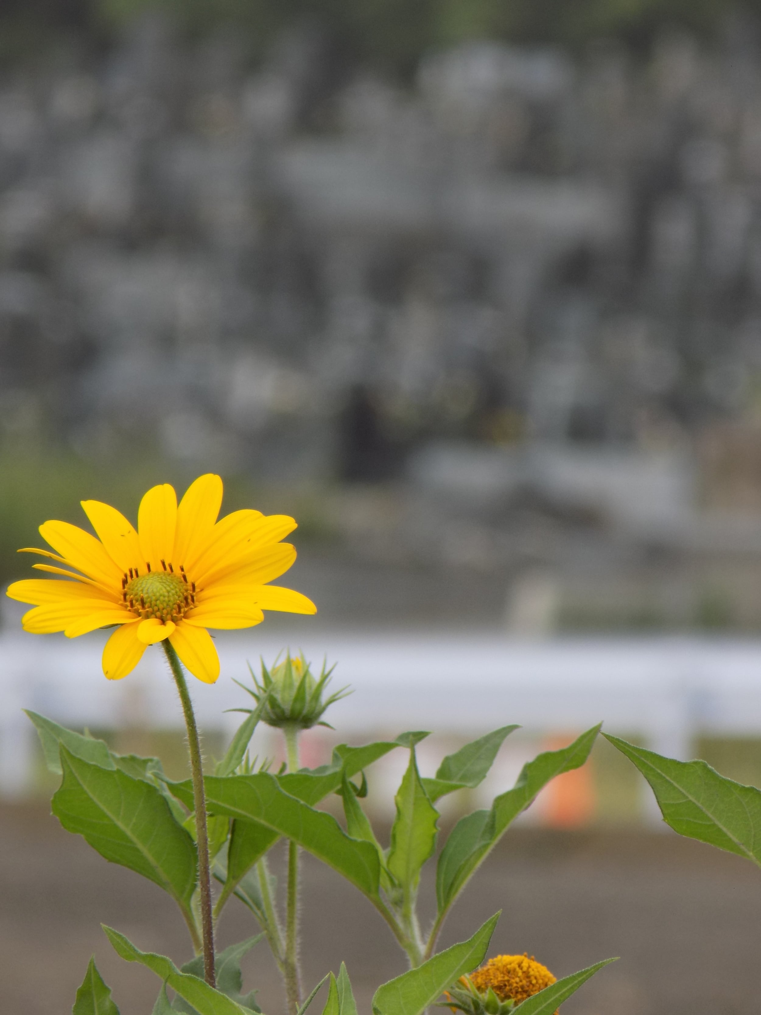 This was a single yellow daisy growing solo on a mound of dirt; in the background, the grave site that is nestled next to the elementary school.