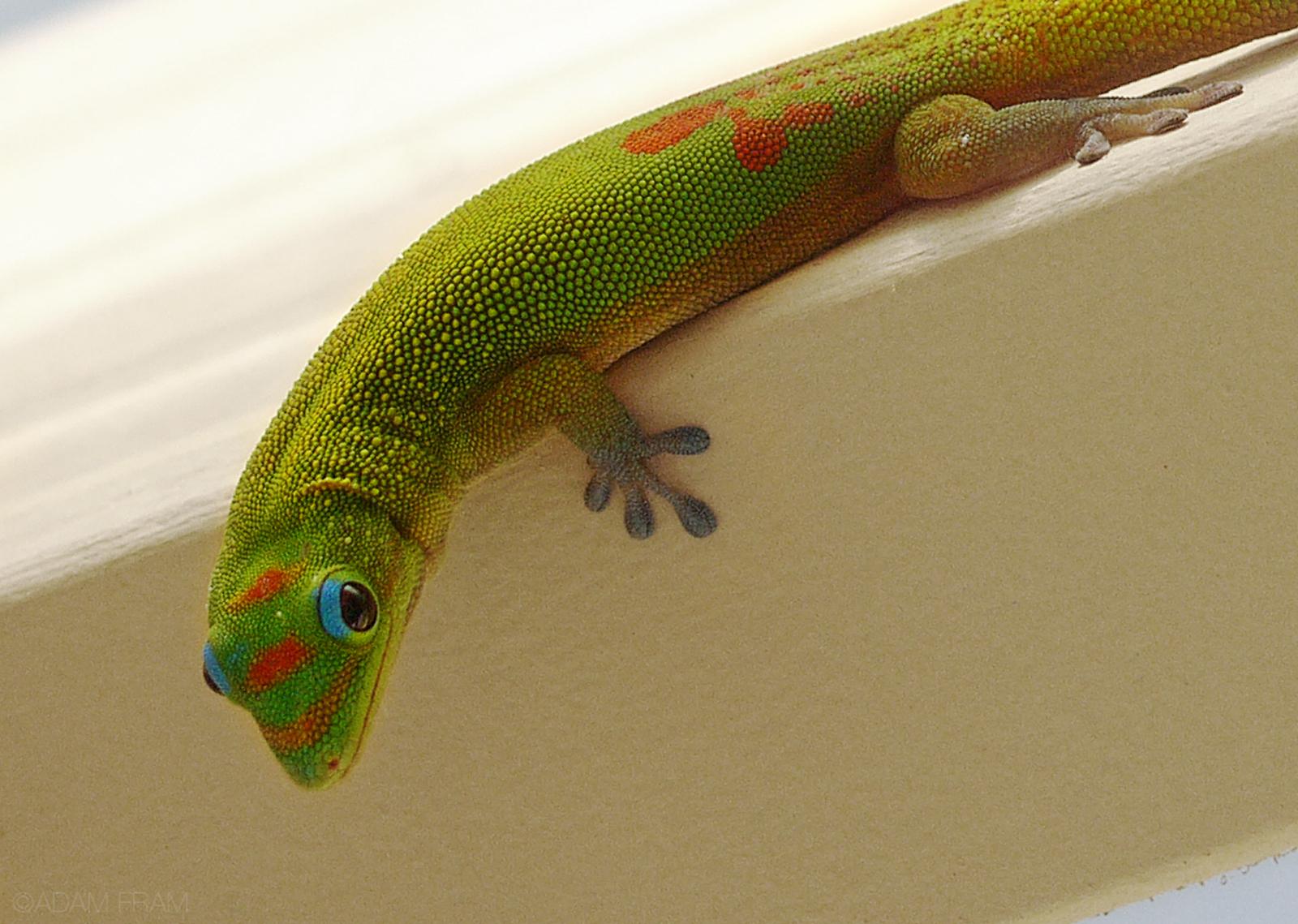 Gecko_Cropped.jpg