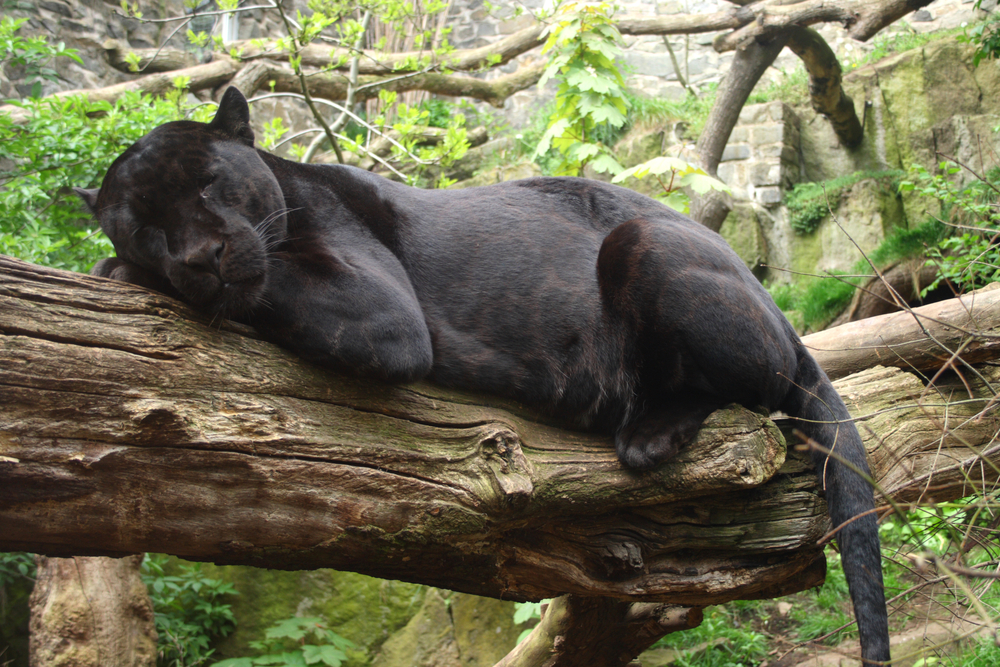 Sleeping black jaguar in the Amazon jungle of Peru