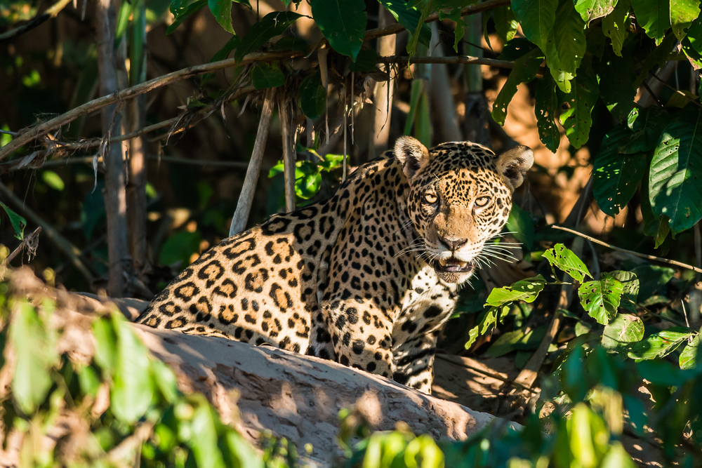 Jaguar in the Manu-Tambopata jungle, Madre de Dios, Peru
