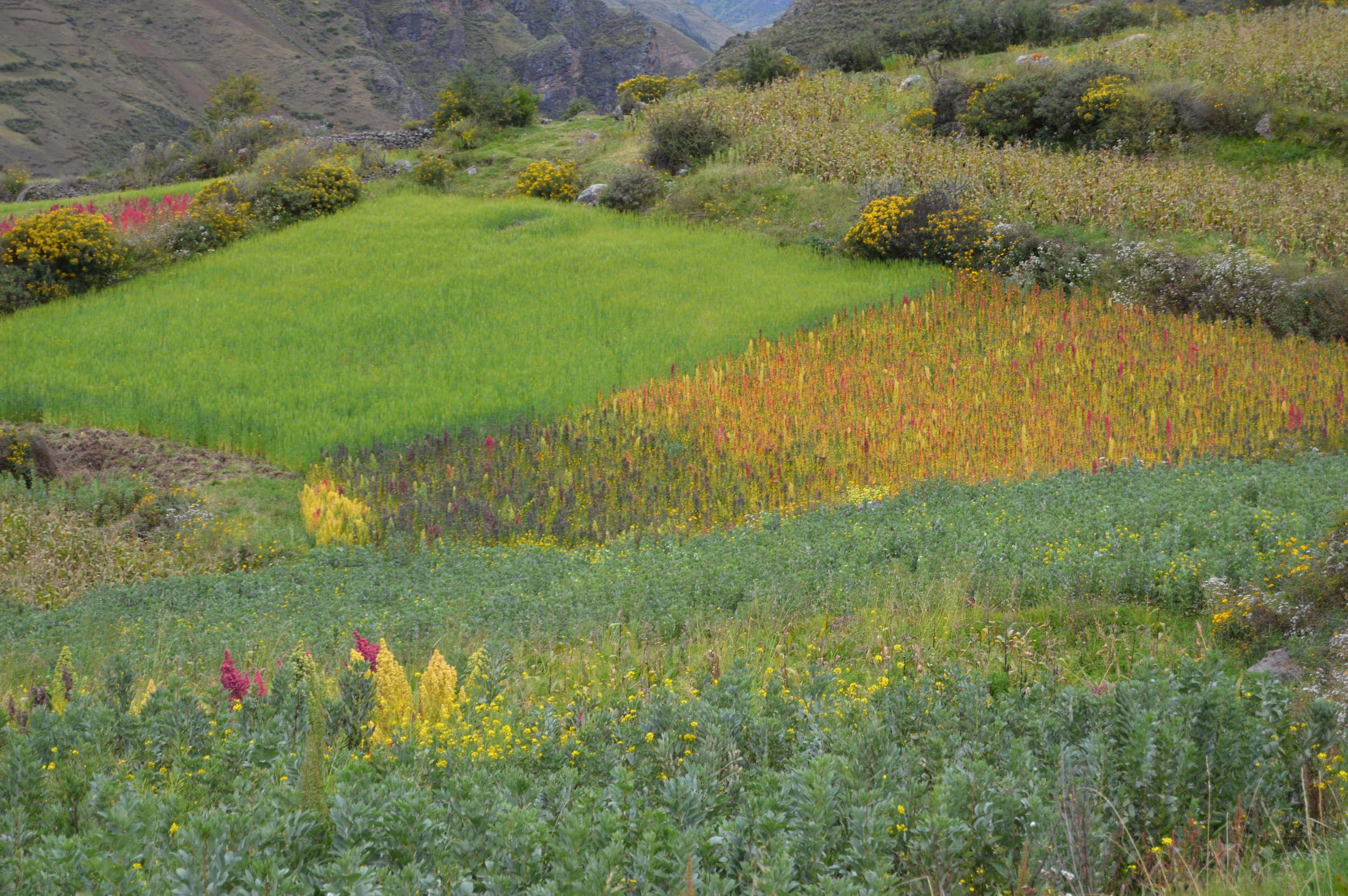 Quinoa fields in Amaru Community near Cusco, Peru