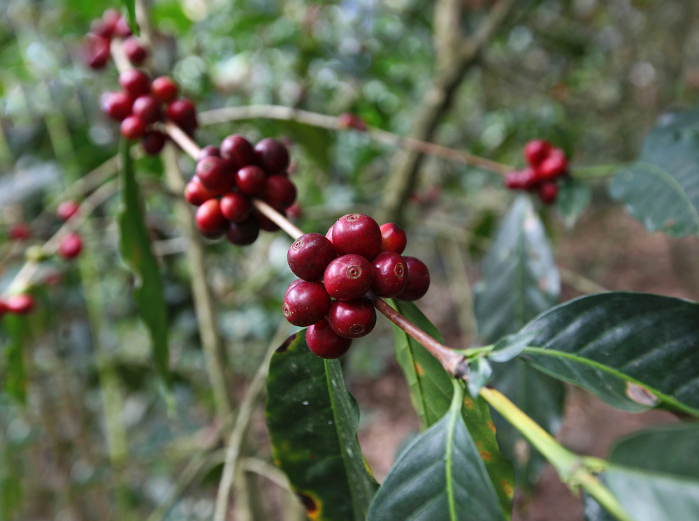 Red coffee beans in Amazon jungle, Peru
