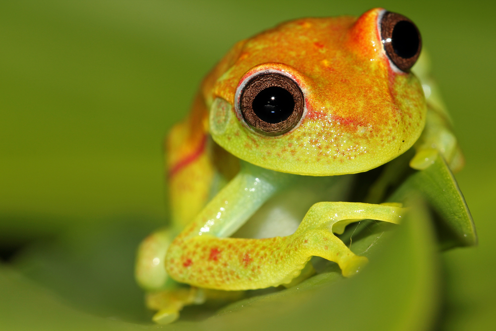 Polka-dot treefrog on leaf in the Amazon jungle of Peru