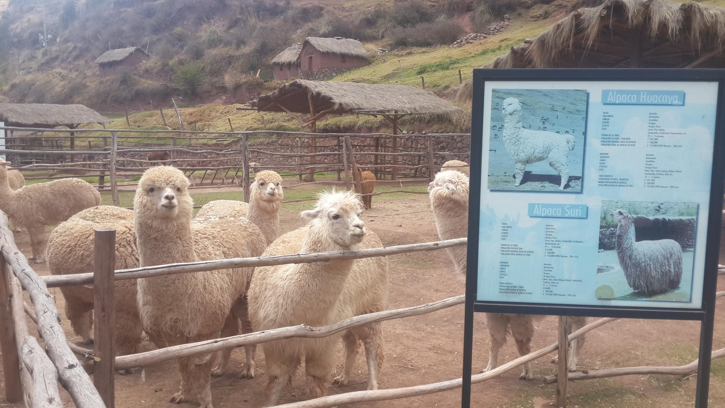 Llama and alpaca feeding corrals at Awanakancha Karen 20141017_103635.jpg