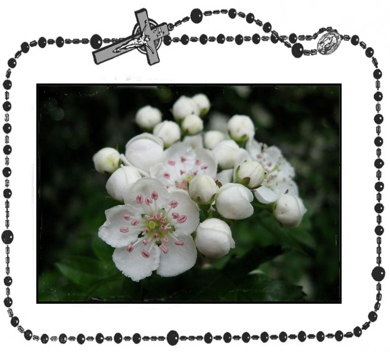 19th Day - Hawthorn FLower+.jpg