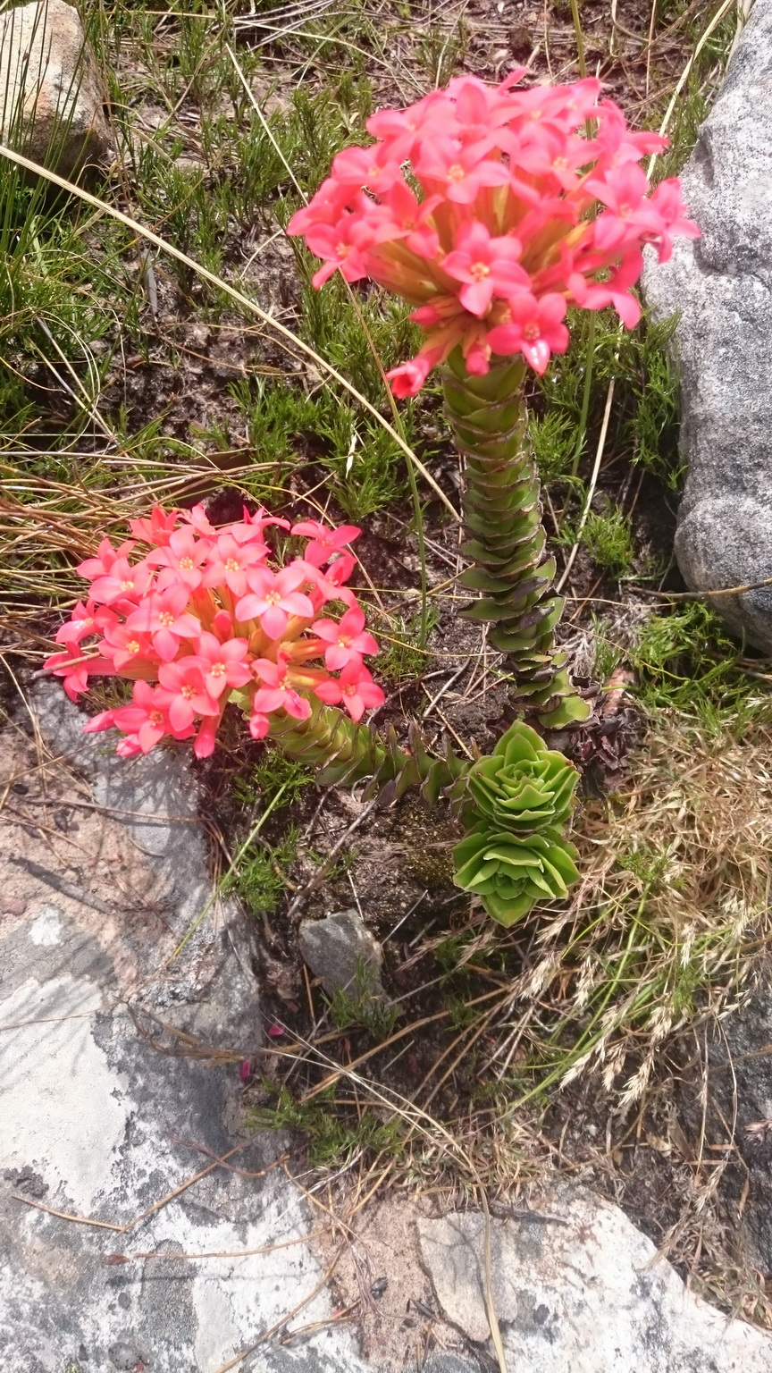 This Crassula coccinea really cheered me up, been waiting to see it in full bloom on every training mission.