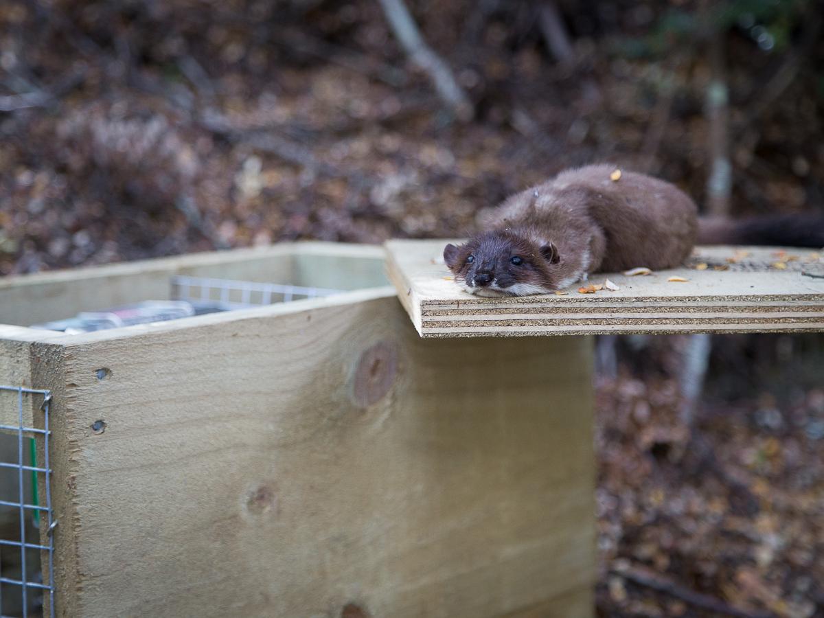 A stoat (or weasel) feeling a little flat.