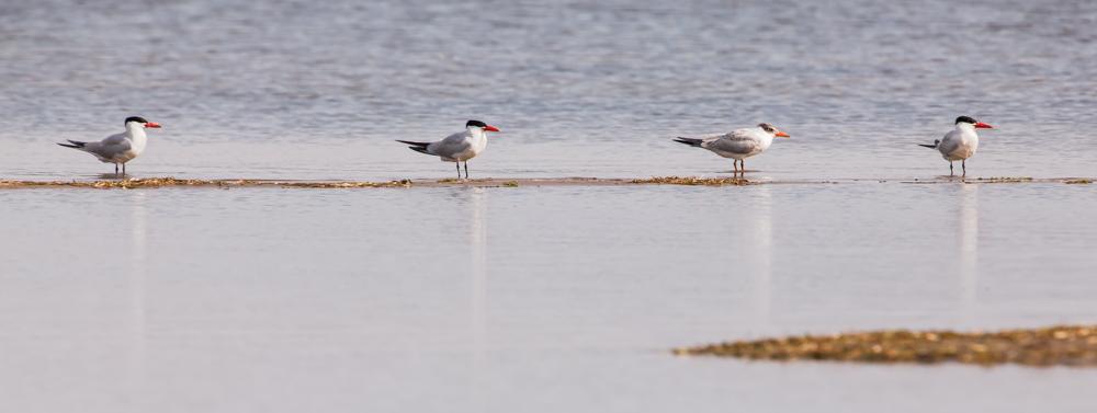 Caspien Terns in Formation-9189.jpg