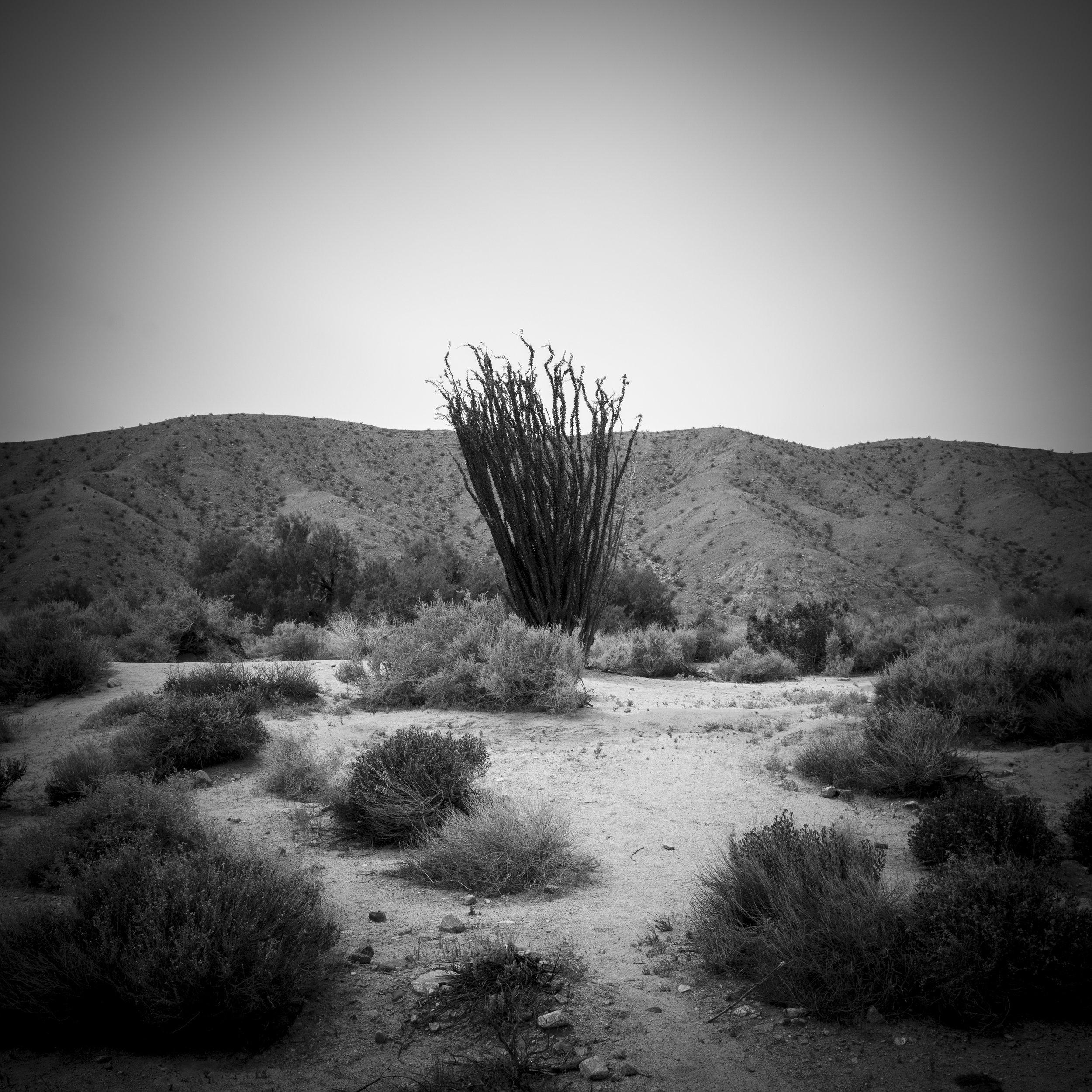 Spike Tree in Desert.jpg