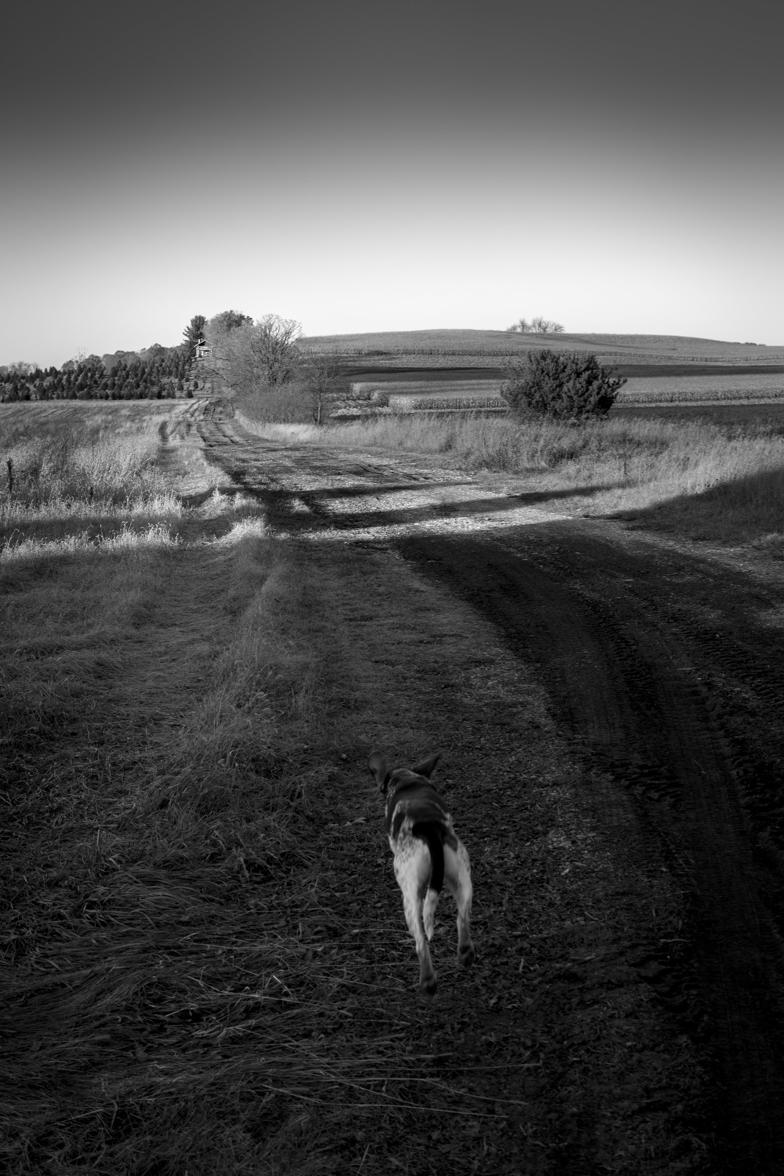 Dog running home from the farm.jpg