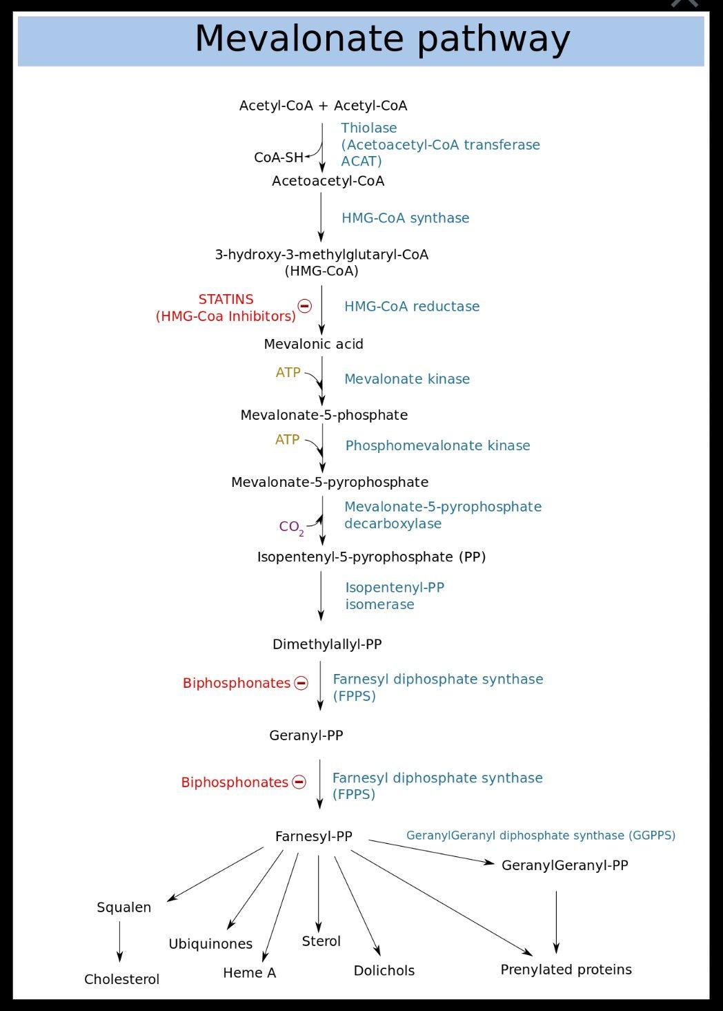 mevalonate metabolic pathway.jpg