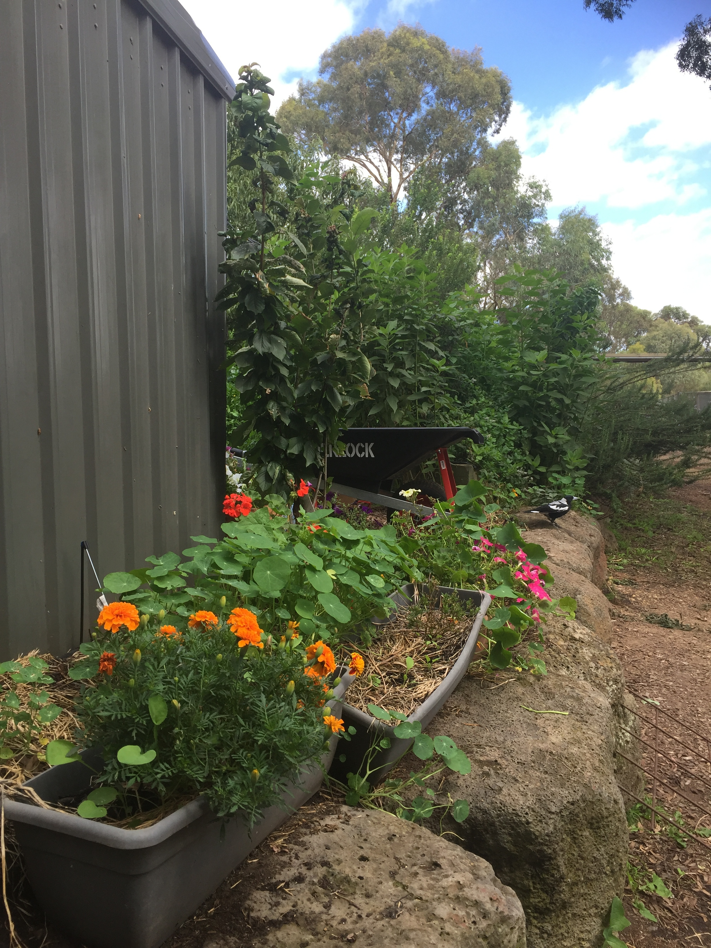 The Kitchen Garden thrives with fresh produce, herbs and companion planting.