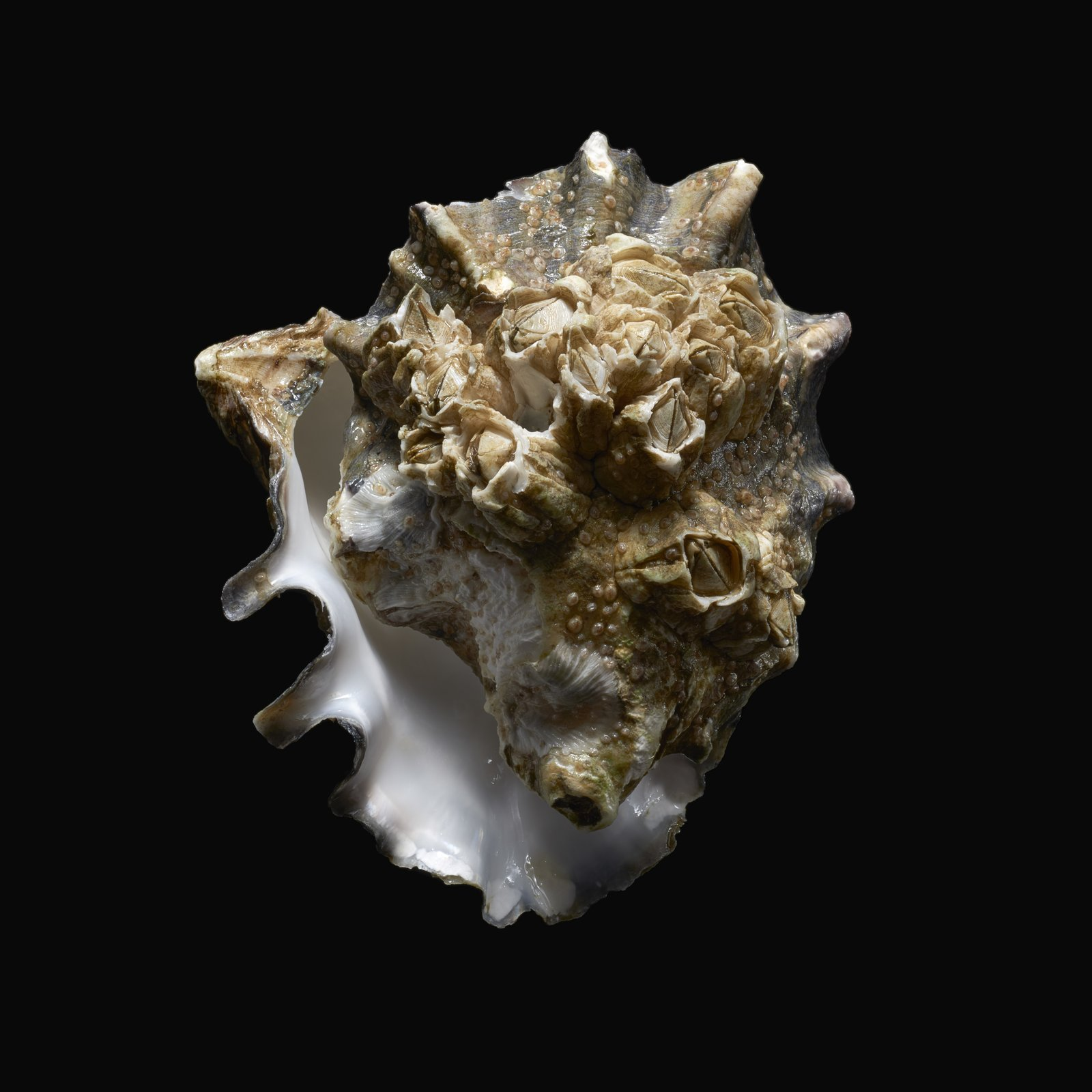 believe-it-or-not-this-flapjack-point-oyster-shell-may-have-a-future-in-construction-find-out-how-in-dwells-latest-rm-3-podcast-in-which-we-chart-the-role-of-mollusk-shells-in-architecture-download-it-wherever-you-get-your-podcasts.jpg