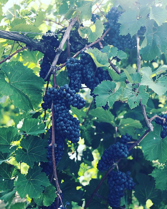 It's the most wonderful time of the year... #harvest #grapeharvest #wine #winelover #winemaking #homewinemaking #wisconsinwine #wiscowine #marquettewine