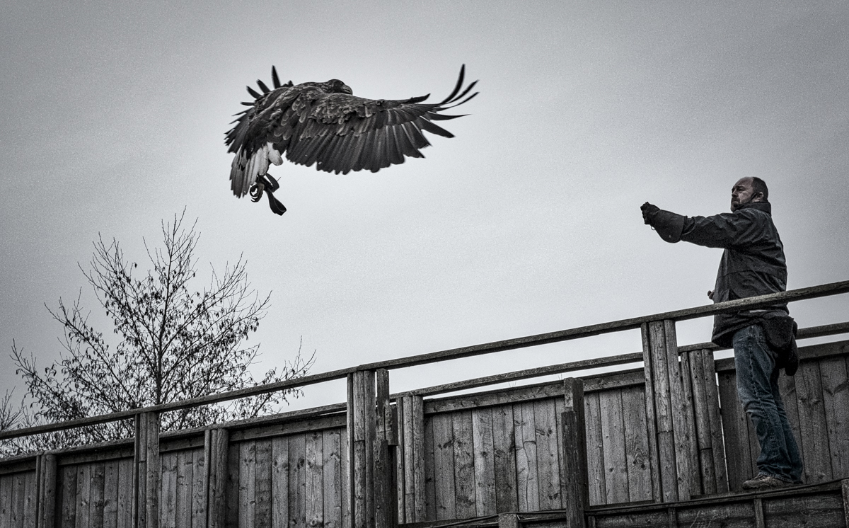 Who says you need a big lens to do bird photography?   Scottish Sea Eagle at Gauntlet Birds of Prey raptor sanctuary, Knutsford ,  UK  Fujifilm X100T, Continous High-Speed Autofocus