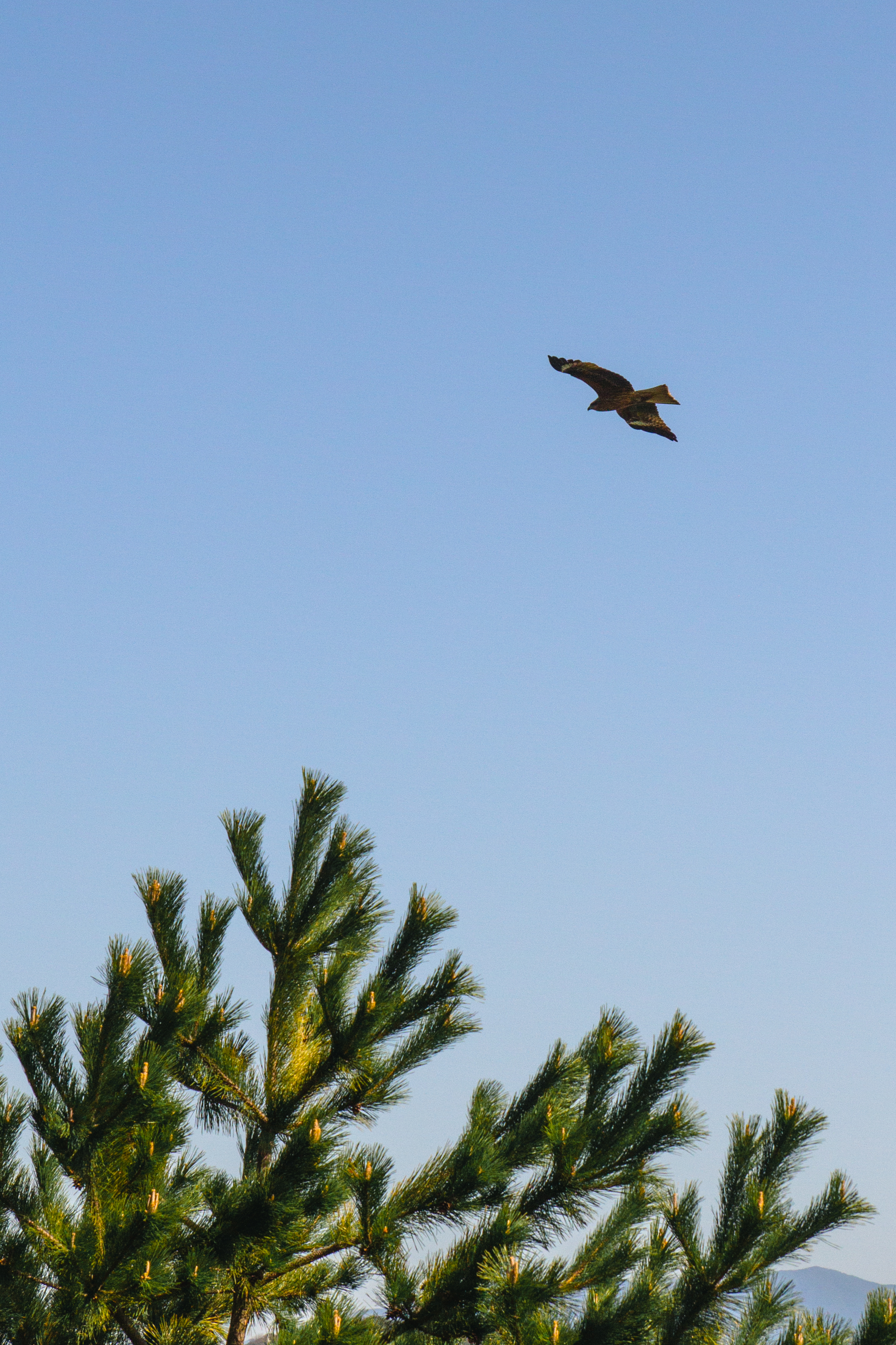 Hawk | Shikanoshima Island