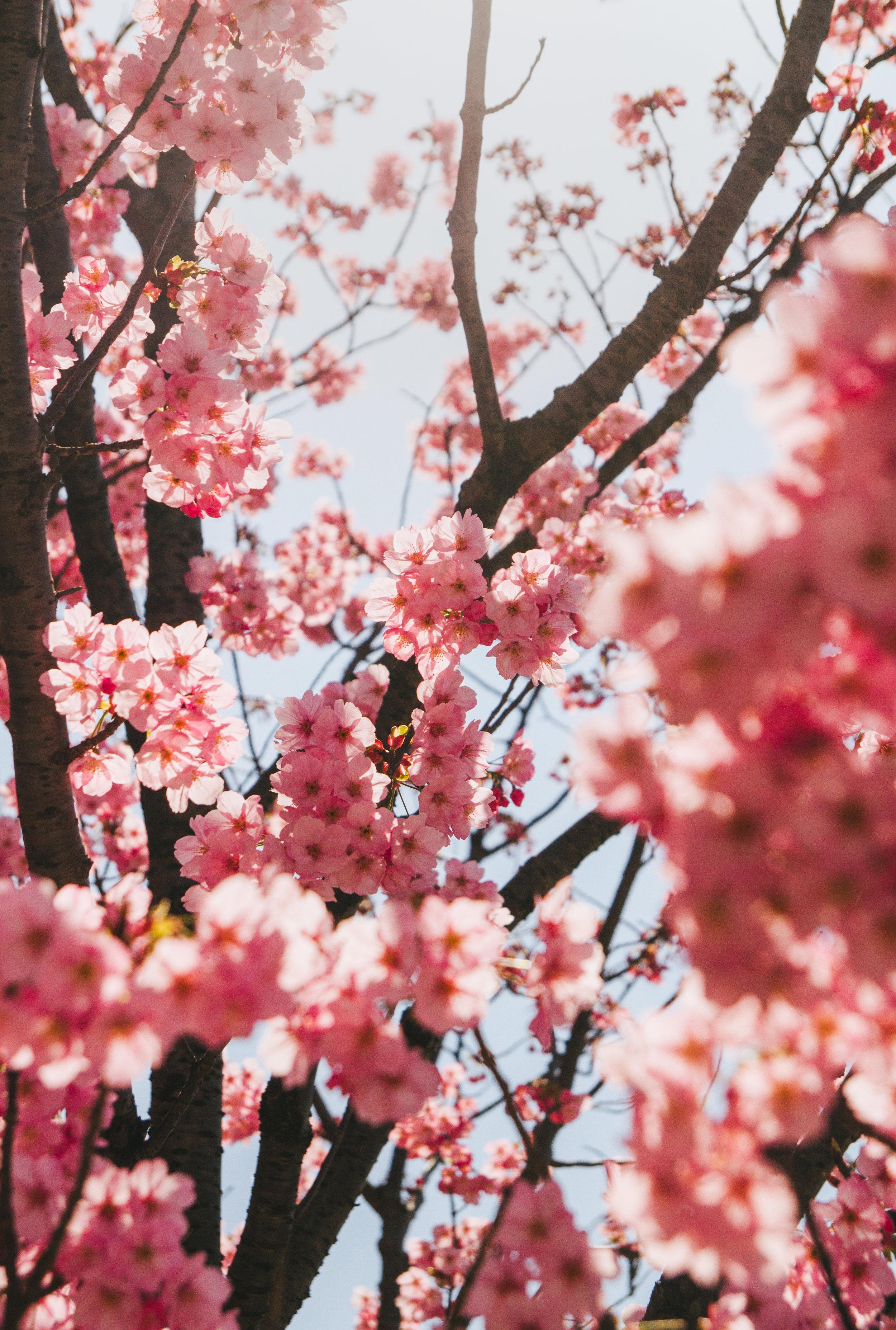 Cherry blossoms | Kitakyushu | 2018