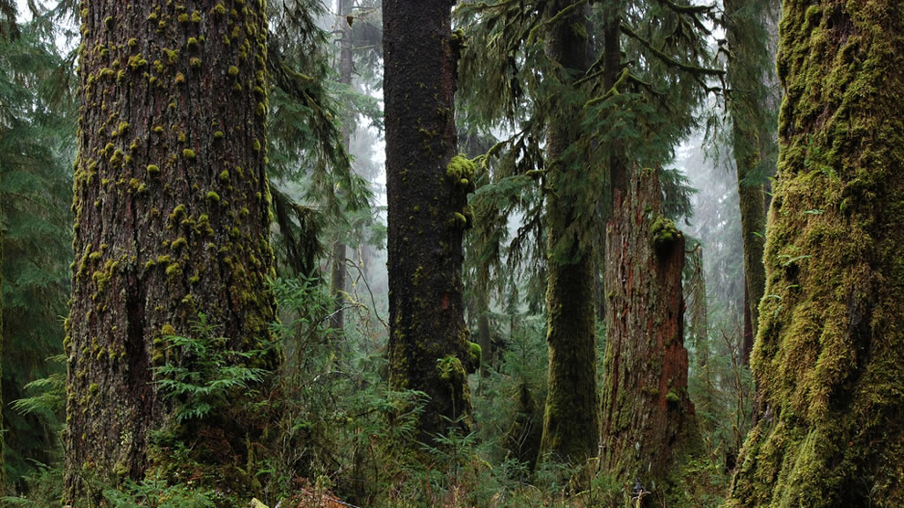 Trees-texture-and-fog-Pacific-Northwest-Olympic-National-Park.jpg