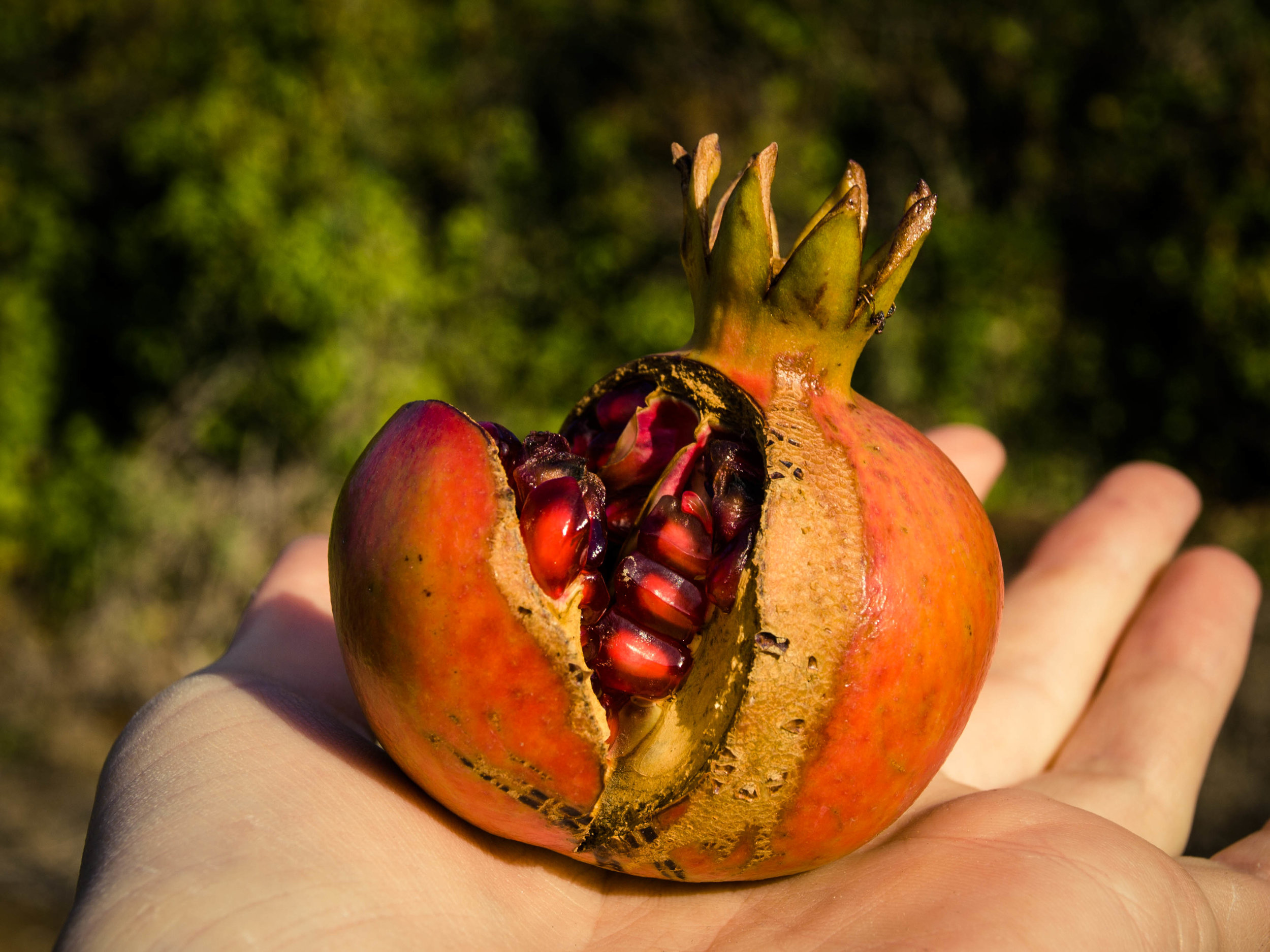 Nothing better than a ripe pomegranate straight from the tree (Picture by Katherine Poseidon)