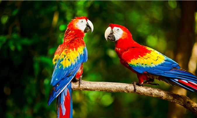 scarlet-macaw-pair.jpg