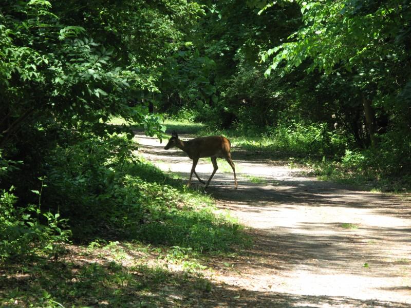 Deer-800x600.jpg