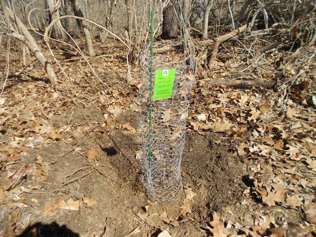 Photos Chestnut Trees Planted at IWL 3-28-15 (Tree 1) jcs 011.jpg