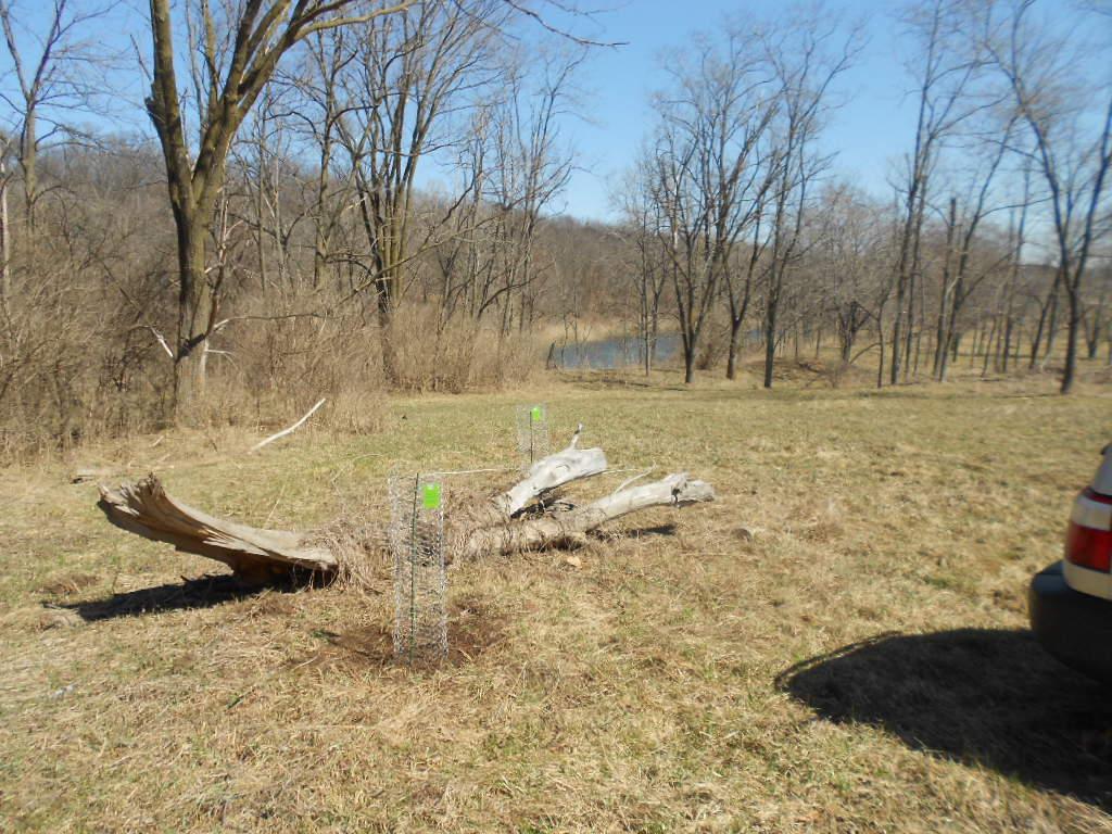 Photos Chestnut Trees Planted at IWL 3-28-15 (Trees 5 & 6) jcs 015.jpg