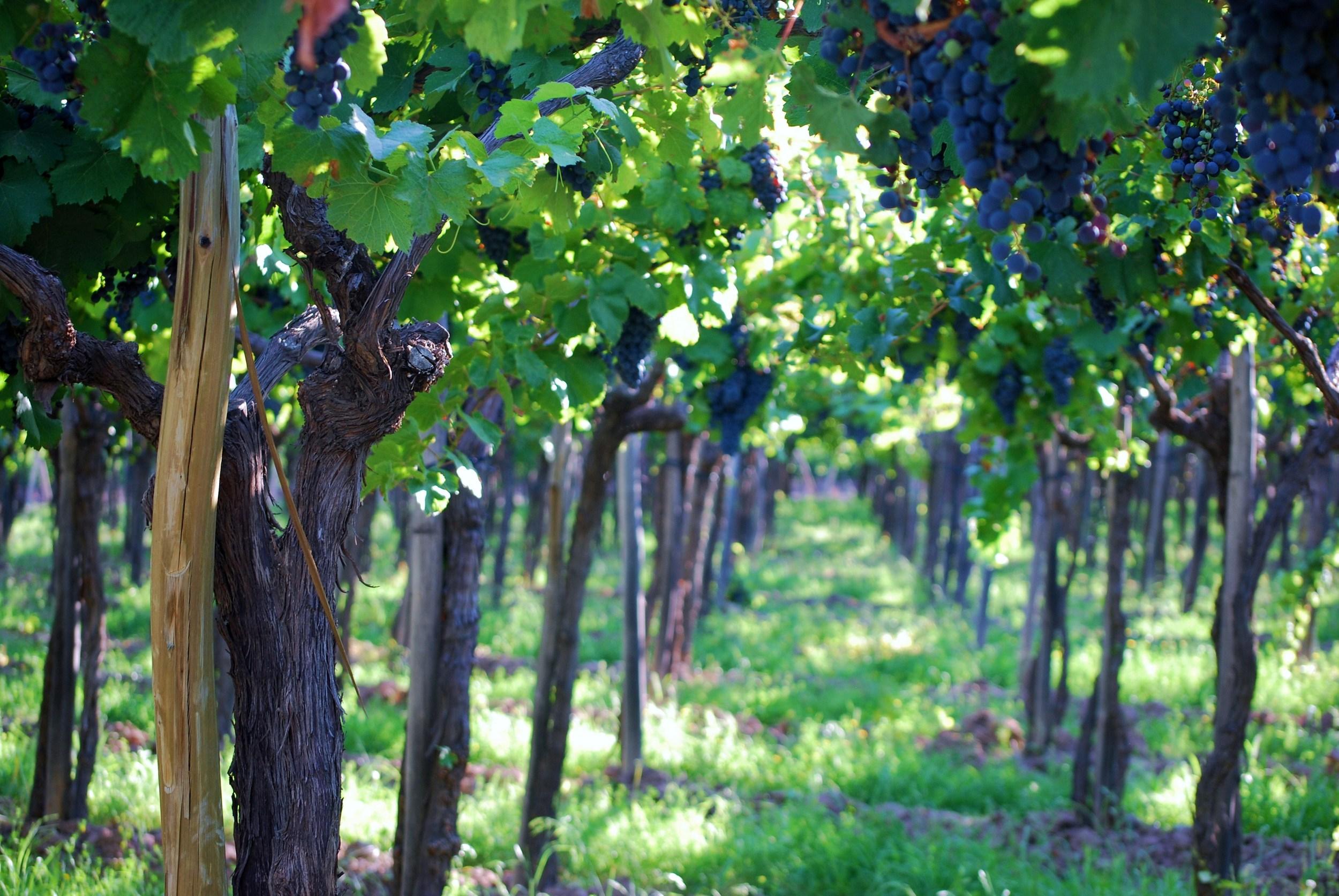 Cavas Vines.JPG
