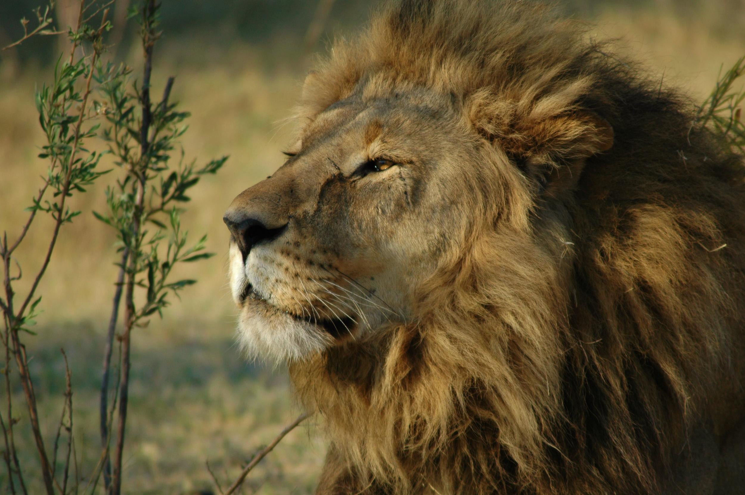 LionSafari.jpg
